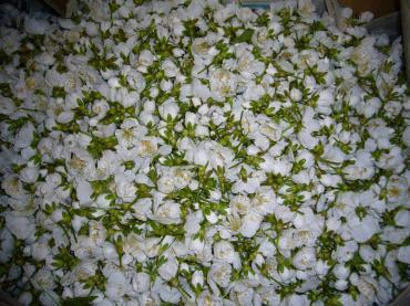 ナポレオンの花